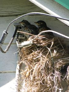 Robin's nest at tool shed.