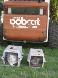 Bobcat with house cats.